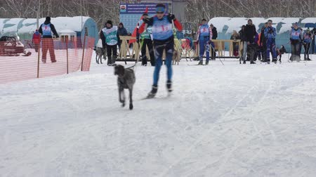 mushing : PETROPAVLOVSK KAMCHATSKY CITY, KAMCHATKA PENINSULA, RUSSIAN FAR EAST - FEB 2, 2019: Relay skijoring race competitions - Open Team Championship in winter sports mushing disciplines - skijoring racing