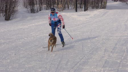 mushing : KAMCHATKA PENINSULA, RUSSIAN FAR EAST - FEB 2, 2019: Open Team Championship of Petropavlovsk-Kamchatsky City in winter sports mushing disciplines - skijoring racing - Relay skijoring race competitions