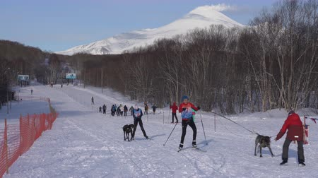 mushing : KAMCHATKA PENINSULA, RUSSIAN FAR EAST - FEB 2, 2019: Open Team Kids Championship of Petropavlovsk-Kamchatsky City in winter sports mushing disciplines - relay skijoring race competitions. Stock Footage