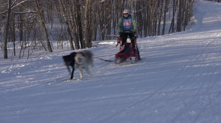 mushing : KAMCHATKA PENINSULA, RUSSIA - FEB 2, 2019: Group of dog sleds riding in forest. Open Team Championship of Petropavlovsk-Kamchatsky City in winter sports mushing disciplines - relay dog sled racing