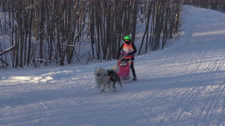 mush : KAMCHATKA PENINSULA, RUSSIAN FAR EAST - FEB 2, 2019: Open Team Kids Championship of Petropavlovsk-Kamchatsky City in winter sports mushing disciplines - relay sled dog race competitions.