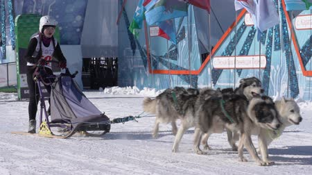 çekme : PETROPAVLOVSK KAMCHATSKY CITY, KAMCHATKA PENINSULA, RUSSIA - FEB 21, 2019: Kamchatka Kids Competitions Sled Dog Race Dyulin Beringia. Running husky dog sled young musher through stadium. Slow motion