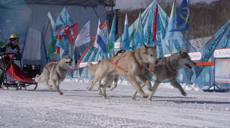 тянущий : PETROPAVLOVSK KAMCHATSKY CITY, KAMCHATKA PENINSULA, RUSSIA - FEB 21, 2019: Kamchatka Kids Competitions Sled Dog Race Dyulin Beringia. Running husky dog sled young musher through stadium. Slow motion