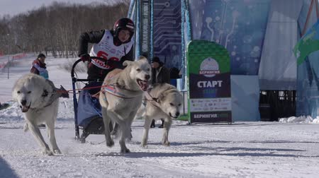 harness : PETROPAVLOVSK KAMCHATSKY CITY, KAMCHATKA PENINSULA, RUSSIA - FEB 21, 2019: Running husky dog sled young musher through stadium. Kamchatka Kids Competitions Sled Dog Race Dyulin Beringia. Slow motion