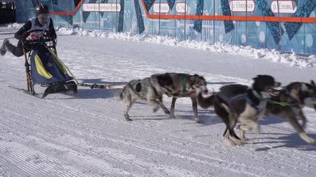 mush : PETROPAVLOVSK KAMCHATSKY CITY, KAMCHATKA PENINSULA, RUSSIA - FEB 21, 2019: Running husky dog sled young musher through stadium. Kamchatka Kids Competitions Sled Dog Race Dyulin Beringia. Slow motion