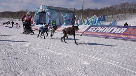mushing : PETROPAVLOVSK KAMCHATSKY CITY, KAMCHATKA PENINSULA, RUSSIA - FEBRUARY 21, 2019: Kamchatka Kids Competitions Dog Sled Racing Dyulin Beringia. Running dog sled young musher through stadium. Slow motion Stock Footage