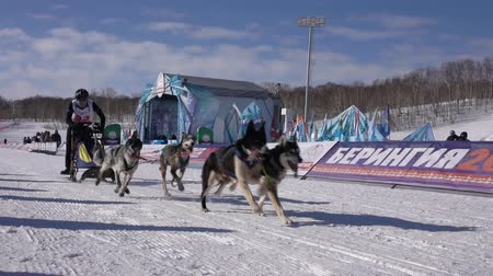 mushing : PETROPAVLOVSK KAMCHATSKY CITY, KAMCHATKA PENINSULA, RUSSIA - FEB 21, 2019: Running husky dog sled young musher through stadium. Kamchatka Kids Competitions Sled Dog Race Dyulin Beringia. Slow motion