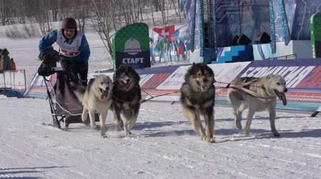 тянуть : PETROPAVLOVSK KAMCHATSKY CITY, KAMCHATKA PENINSULA, RUSSIA - FEB 21, 2019: Kamchatka Kids Competitions Sled Dog Race Dyulin Beringia. Running husky dog sled young musher through stadium. Slow motion