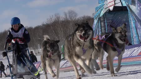 canino : PETROPAVLOVSK KAMCHATSKY CITY, KAMCHATKA PENINSULA, RUSSIA - FEB 21, 2019: Kamchatka Kids Competitions Sled Dog Race Dyulin Beringia. Running husky dog sled young musher through stadium. Slow motion