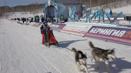mushing : PETROPAVLOVSK KAMCHATSKY CITY, KAMCHATKA, RUSSIAN FAR EAST - FEBRUARY 21, 2019: Kamchatka Kids Competitions Dog Sled Racing Dyulin Beringia. Running dog sled young musher through stadium.