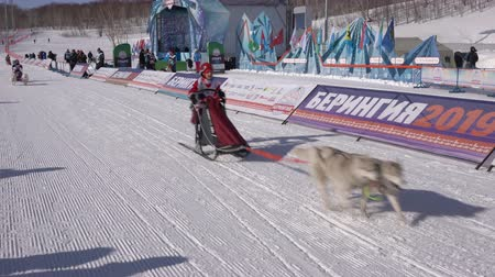 mushing : PETROPAVLOVSK KAMCHATSKY, KAMCHATKA PENINSULA, RUSSIA - FEBRUARY 21, 2019: Running dog sled young musher through stadium. Kamchatka Kids Competitions Dog Sled Racing Dyulin Beringia. Stock Footage