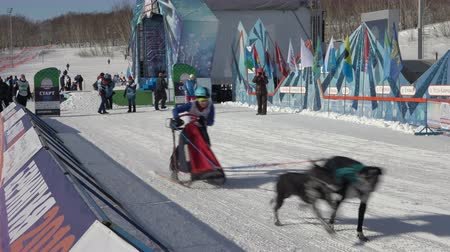 harness : PETROPAVLOVSK KAMCHATSKY CITY, KAMCHATKA PENINSULA, RUSSIA - FEBRUARY 21, 2019: Kamchatka Kids Competitions Dog Sled Racing Dyulin Beringia. Running dog sled young musher through stadium.