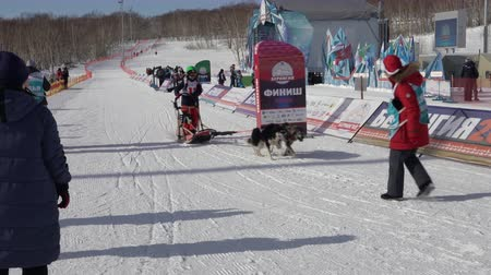 mushing : PETROPAVLOVSK KAMCHATSKY CITY, KAMCHATKA PENINSULA, RUSSIAN FAR EAST - FEBRUARY 21, 2019: Running dog sled young musher through stadium. Kamchatka Kids Competitions Dog Sled Racing Dyulin Beringia.