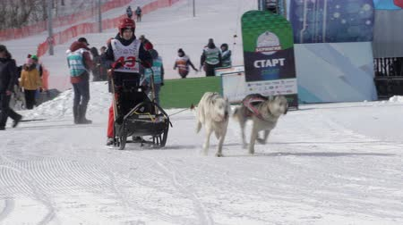 mush : PETROPAVLOVSK KAMCHATSKY CITY, KAMCHATKA PENINSULA, RUSSIA - FEBRUARY 21, 2019: Kamchatka Kids Competitions Dog Sled Racing Dyulin Beringia. Running dog sled young musher through stadium.