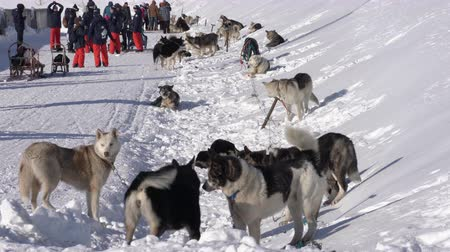 аляскинским : PETROPAVLOVSK CITY, KAMCHATKA PENINSULA, RUSSIAN FAR EAST - FEBRUARY 21, 2019: Group of dogs jump, bite, sniff each other before winter sport competition - Kamchatka Kids Dog Sled Race Dyulin Beringia