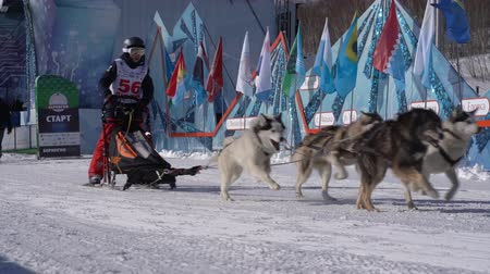 documentaire : PETROPAVLOVSK KAMCHATSKY CITY, KAMCHATKA PENINSULA, RUSSIE - 21 février 2019: Kamchatka Kids Competitions Sled Dog Race Dyulin Beringia. Running husky dog sled young musher through stadium. Ralenti