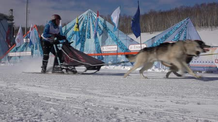 mushing : PETROPAVLOVSK KAMCHATSKY CITY, KAMCHATKA PENINSULA, RUSSIA - FEB 21, 2019: Kamchatka Kids Competitions Sled Dog Race Dyulin Beringia. Running husky dog sled young musher through stadium. Slow motion