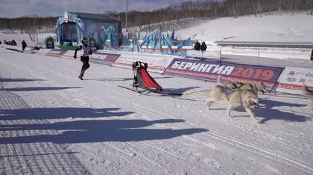 mush : PETROPAVLOVSK KAMCHATSKY CITY, KAMCHATKA PENINSULA, RUSSIA - FEB 21, 2019: Kamchatka Kids Competitions Sled Dog Race Dyulin Beringia. Running husky dog sled young musher through stadium. Slow motion