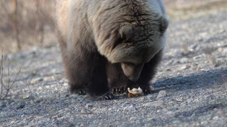 arctos : Hungry wild Kamchatka brown bear eats hot dog, which was given by people. Bear came out to people in spring because of hunger and available human food. Eurasia, Russian Far East, Kamchatka Peninsula. Telephoto lens, handheld shot Stock Footage