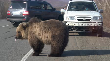 arctos : KAMCHATKA PENINSULA, RUSSIAN FAR EAST - MAY 12, 2019: Wild hungry and huge Kamchatka brown bear (Far Eastern brown bear) walking on road and begs for human food from people in cars on highway.