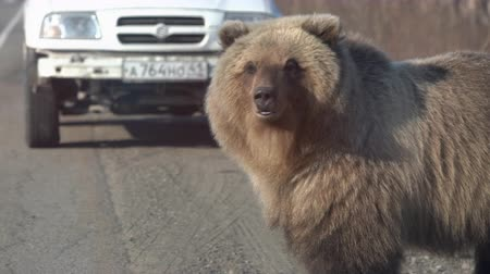 arctos : KAMCHATKA PENINSULA, RUSSIAN FAR EAST - MAY 12, 2019: Wild hungry and huge Far Eastern brown bear (Kamchatka brown bear) walking on road, begs for human food from people in automobiles on highway.