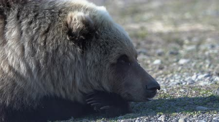 arctos : Portrait of wild Kamchatka brown bear lies on stones, breathes heavily and looking around. Extreme dangerous handheld shot in vicinity of beast of prey. Kamchatka Peninsula, Russian Far East. Zoom in Stock Footage