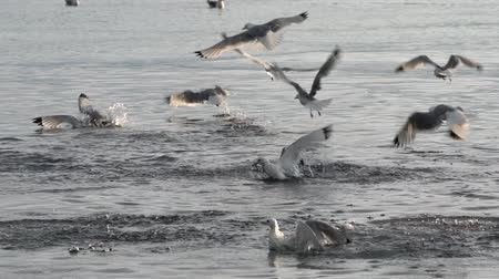bird colony : Flock of Pacific gull seabirds fly and dive into water and catch sea fish in Pacific Ocean. Seashore of Pacific Coast Kamchatka Peninsula. Russian Far East, Avacha Bay (Avachinskaya Bay). Slow Motion Stock Footage