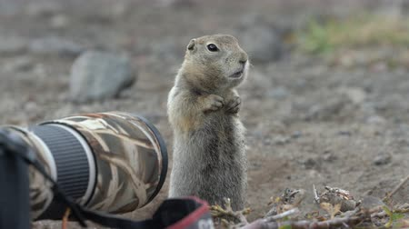 mammalia : Expression Arctic ground squirrel eating nuts, posing in front of camera. Cute curious wild animal of genus of medium sized rodents of squirrel family. Kamchatka Peninsula, Russia - September 1, 2019 Stock Footage