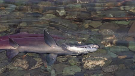 upstream : Wild red salmon fish Kokanee Salmon (Oncorhynchus nerka) swimming in shallow water and splashing during spawning. Pacific salmon that is primarily red in hue during spawning and dying after they spawn