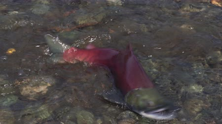 upstream : Wild red salmon fish Sockeye Salmon (Oncorhynchus nerka) swimming in shallow water and splashing during spawning. Pacific salmon that is primarily red in hue during spawning and dying after they spawn Stock Footage