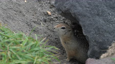 mammalia : Curious but cautious wild animal Arctic ground squirrel peeps out of hole under stone and looking around so as not to fall into jaws of predatory beasts. Kamchatka Peninsula, Russian Far East, Eurasia Stock Footage