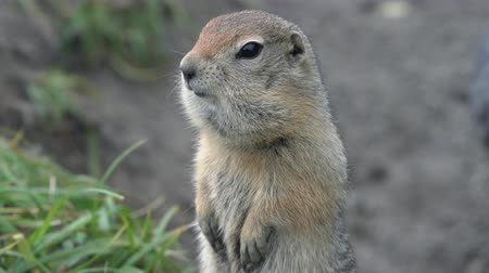 wiewiórka : Portrait of Arctic ground squirrel, carefully looking around so as not to fall into the jaws of predatory beasts. Curious wild animal of genus rodents of squirrel family. Kamchatka, Russia, Eurasia.