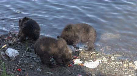 arctos : Three funny yearling Kamchatka brown bear cub - wild beast marauders loot equipment fisherman on river bank during spawning red salmon fish. Kamchatka Peninsula, Russian Far East - August 20, 2019