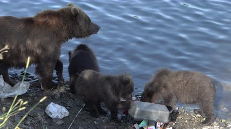 arctos : Brown she-bear with three funny yearling bear cub - wild beast marauders loot equipment fisherman on river bank during spawning red salmon fish. Kamchatka Peninsula, Russian Far East - August 20, 2019 Stock Footage