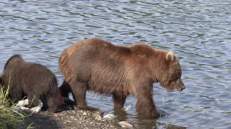 marauder : Wild beast brown she-bear with three funny yearling bear cub marauders fisherman catch and loot equipment on river bank during spawning red salmon fish. Kamchatka Peninsula, Russia - August 20, 2019.
