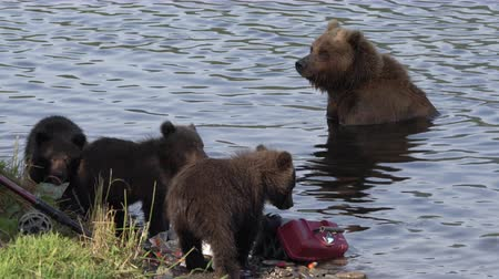 welpje : Brown she-bear watches her three funny yearling bear cub marauders loot equipment fisherman on river bank during spawning red salmon fish. Kamchatka Peninsula, Russian Far East - August 20, 2019