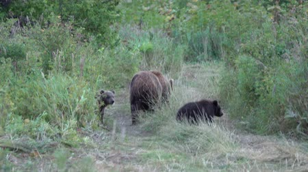 korkunç : Kamchatka brown she-bear come out forest with three bear cubs and walking along country road with funny yearling beasts. Wild animals in natural habitat. Eurasia, Russian Far East, Kamchatka Peninsula