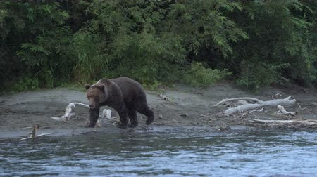 russian far east : Wild terrible hungry Kamchatka brown bear (Ursus arctos piscator) walking along riverbank, looking around in search of food - red salmon. Wild animal in natural habitat. Eurasia, Russian Far East, Kamchatka Peninsula.