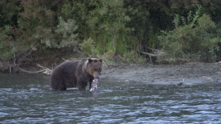 arctos : Hungry Kamchatka brown bear (Ursus arctos piscator) standing in water and fishing red salmon fish. Animal in natural habitat. Wild beast fishing during spawning of sockeye fish in river. Eurasia, Russian Far East, Kamchatka Peninsula. Stock Footage