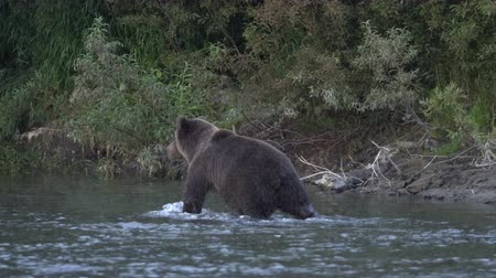 arctos : Wild hungry Kamchatka brown bear walking on river, looking around in search of food - red salmon fish during spawning of sockeye salmon. Wildlife animal in natural habitat. Russia, Kamchatka Peninsula Stock Footage