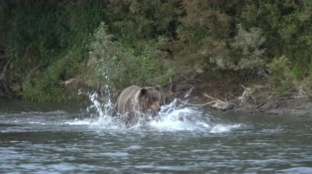 arctos : Hungry Kamchatka brown bear (Ursus arctos piscator) running in spray of water, chasing red salmon fish. Wild beast fishing during spawning of sockeye fish in river. Animal in natural habitat. Eurasia, Russian Far East, Kamchatka Peninsula.