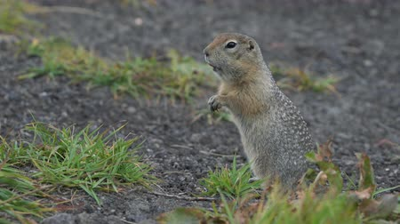 mammalia : Cute Arctic Ground Squirrel eating cracker holding food in paws. Curious wild animal of genus of medium sized rodents of squirrel family. Eurasia, Russian Far East, Kamchatka Peninsula. Stock Footage