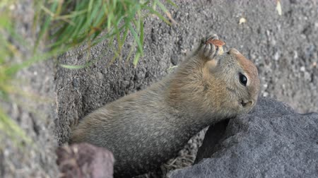 wiewiórka : Cute Arctic Ground Squirrel eating cracker holding food in paws. Expression curious wild animal genus of medium sized rodents of squirrel family. Russian Far East, Kamchatka Peninsula. Vertical video