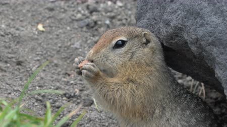 mammalia : Expression Arctic ground squirrel eating cracker holding food in paws. Cute curious wild animal of genus of medium sized rodents of squirrel family. Russian Far East, Kamchatka Peninsula.