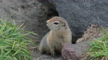 wiewiórka : Curious but cautious wild animal Arctic ground squirrel peeps out of hole under stone and looking around so as not to fall into jaws of predatory beasts. Eurasia, Russian Far East, Kamchatka Peninsula