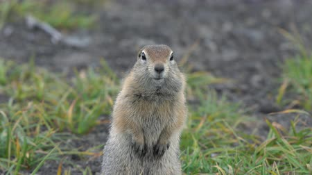 wiewiórka : Portrait of Arctic ground squirrel, carefully looking at camera. Curious wild animal of genus rodents of squirrel family. Kamchatka Peninsula, Russian Far East, Eurasia.
