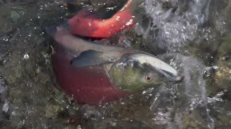 russian far east : Wild red salmon fish Sockeye Salmon Oncorhynchus nerka swimming in shallow water and splashing. Pacific salmon is primarily red color during spawning, dying after they spawn. Slow motion. Stock Footage