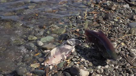 spawn : Poacher fisherman caught wild red salmon fish Sockeye Salmon (Oncorhynchus nerka) in river during spawning. Kamchatka Peninsula, Russian Far East Stock Footage