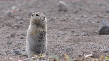 russian far east : Curious Arctic gopher, carefully looking at camera. Wild animal of genus rodents of squirrel family. Kamchatka Peninsula, Russian Far East, Asia.