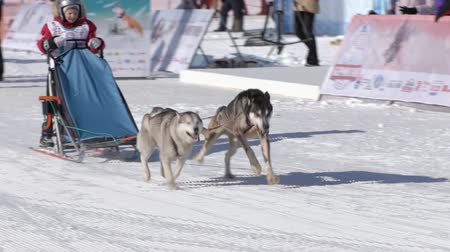 Male child mushing sled dog team, running on snowy race distance during Kamchatka Kids Competitions Dog Sled Racing Dyulin Beringia. Petropavlovsk City, Kamchatka Peninsula, Russia - February 20, 2020